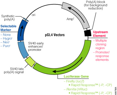 The family of pGL4 Luciferase Reporter Vectors incorporates a variety of additional features, such as a choice of luciferase genes, Rapid Response™ versions, a variety of mammalian selectable markers, and vectors with or without promoters and response elements.