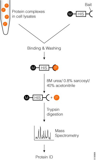 Schematic diagram of affinity tag in vitro pull-down with trypsin digestion and mass spectrometry analysis.