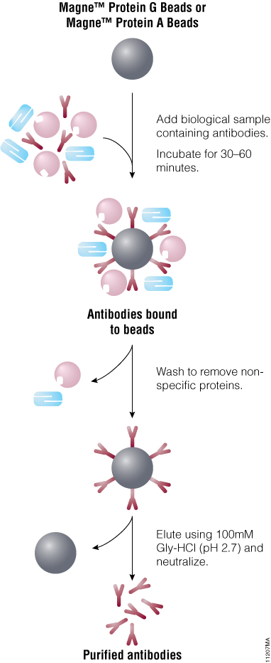Schematic of antibody purification using Magne™ Protein A Beads or Magne™ Protein G Beads.
