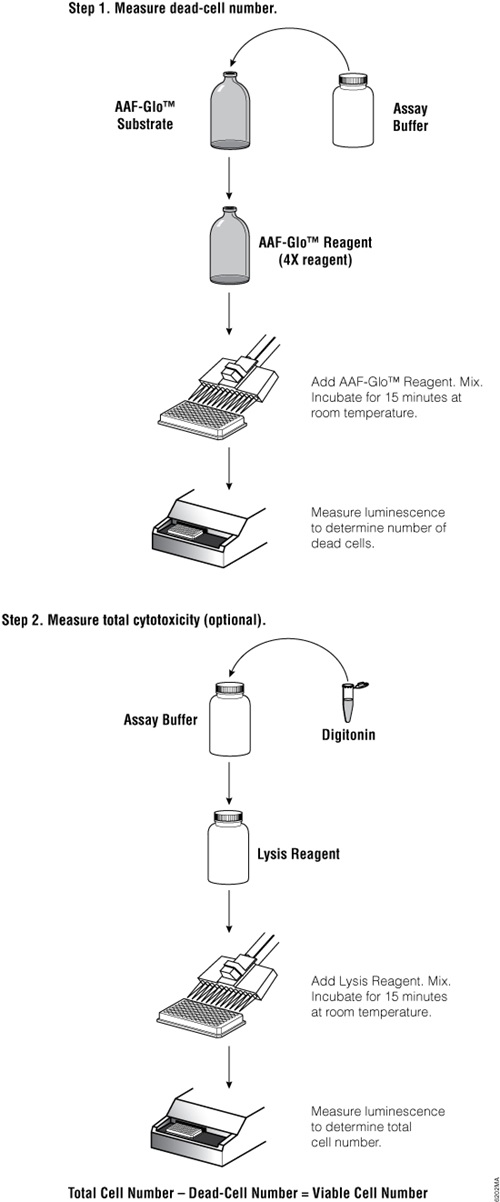 Overview of the CytoTox-Glo Cytotoxicity Assay protocol.