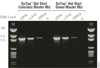 Detection of a beta-globin fragment from human genomic DNA using GoTaq Hot Start Green Master Mix or GoTaq Hot Start Colorless Master Mix.