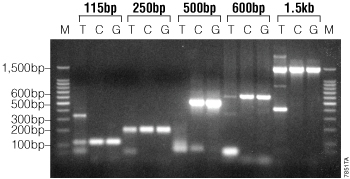 Comparison of amplification reactions using standard Taq DNA polymerase and GoTaq Hot Start Green or Colorless Master Mix.