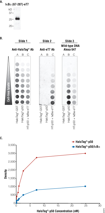 IkappaBalpha inhibits the binding of p50 to DNA.