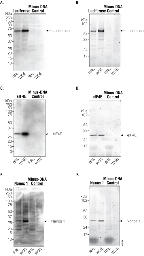 Detection of firefly luciferase, eIF4E and Nanos 1 by Western blot.